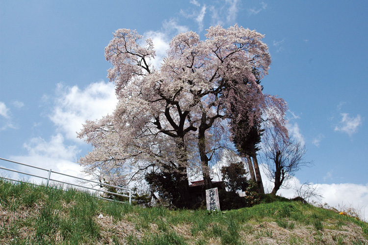 Tenjin Meoto Cherry Tree