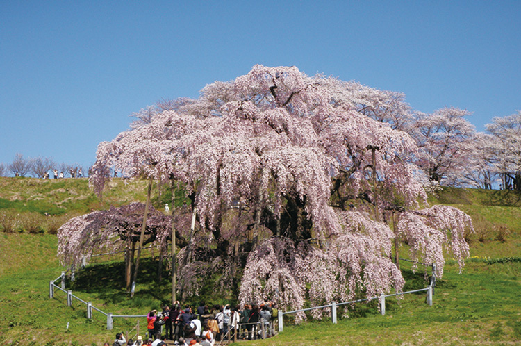 Miharu Taki Sakura Weeping Cherry Tree