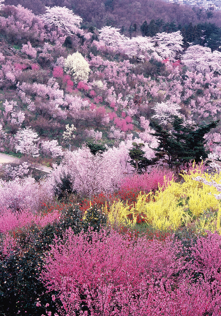 Hanami-yama (Lit. Flower Viewing Mountain) in Fukushima City