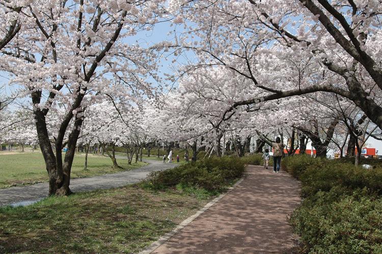 開成山公園 桜