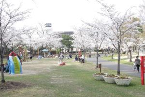 開成山 桜