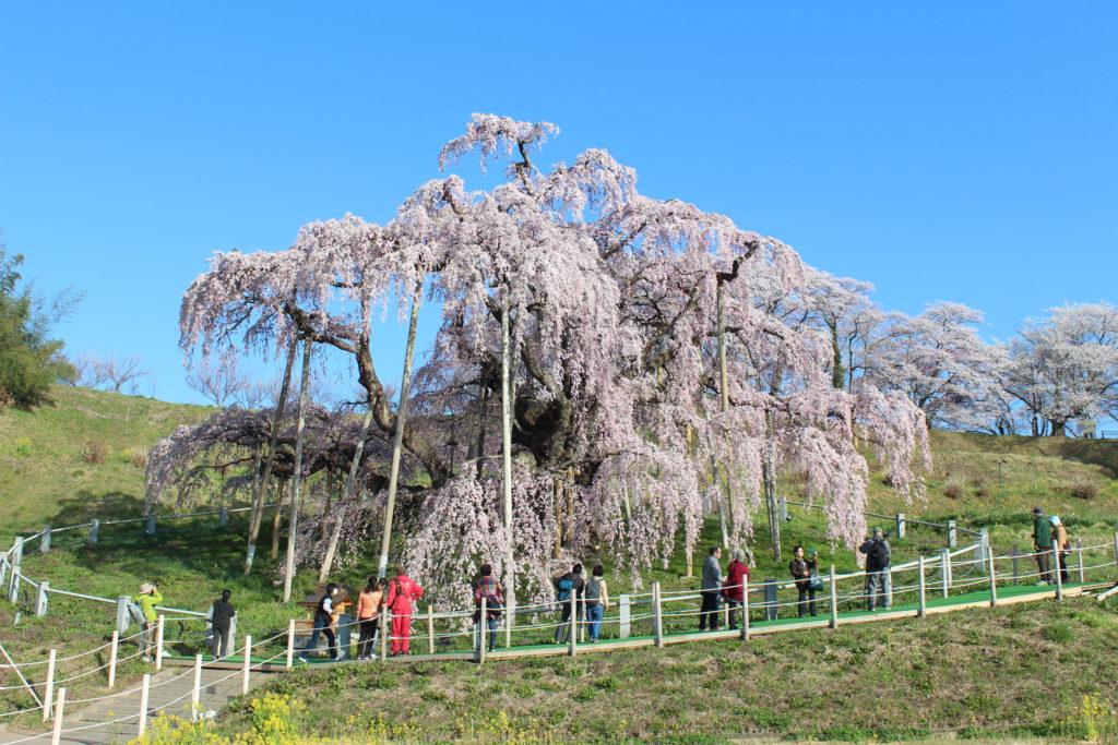 三春 滝桜