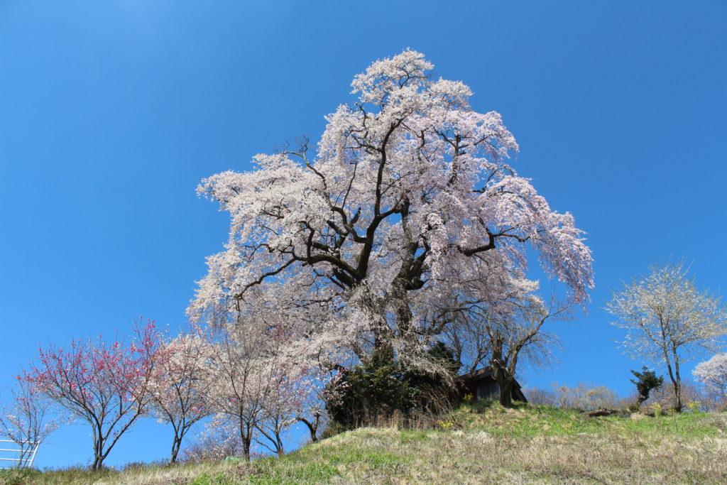 天神夫婦桜