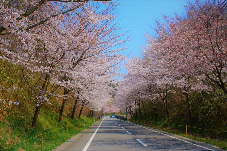 Miharu-machi during cherry blossom season