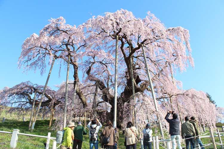 Taki-zakura (Cherry Blossom Tree) in Miharu Machi