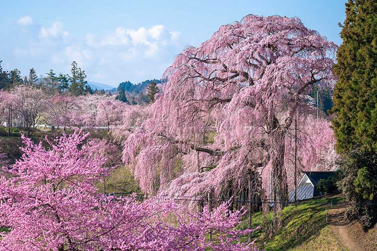 合戦場の枝垂れ桜(二本松市)