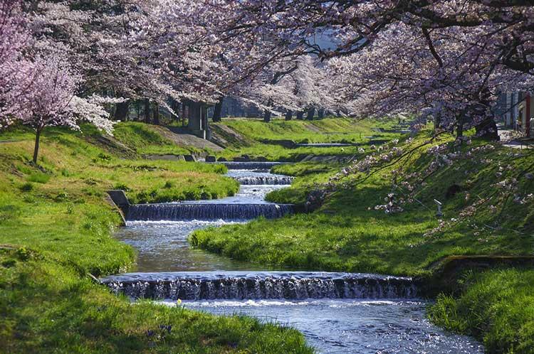 観音寺川の桜並木(猪苗代)