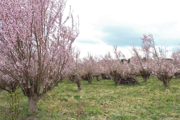 Kaboku Danchi (Flower Tree Sightseeing Farm) in Koriyama City